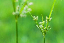 Free Blossoming Grass Stock Photo - 14497230