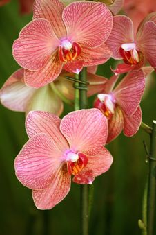 Free Branch Of Pink Orchid Royalty Free Stock Photo - 14497435