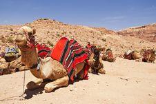 Free The Camel Dromedary Stock Photo - 14498330