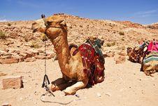 Camel Dromedary Stock Image