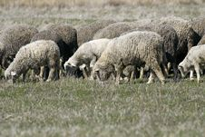 Free Sheep Royalty Free Stock Photography - 14498777