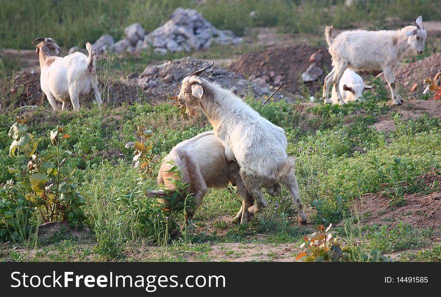 Goats fight