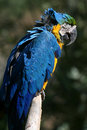 Free Blue Parrot Stock Photos - 1450273