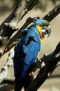 Free Deep Blue Parrot Stock Photos - 1451343