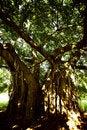 Free Creepy Tree Royalty Free Stock Photography - 1451547
