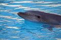 Free Dolphin Royalty Free Stock Photo - 1456105