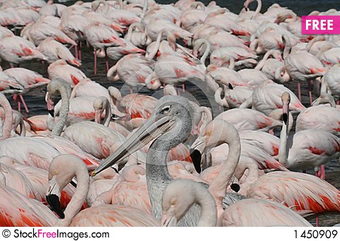 Free Pelican And Flamingos Royalty Free Stock Images - 1450909
