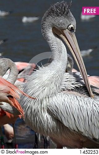 Pelican face Stock Photo