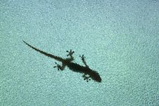 Lizard S Shadow Stock Photo