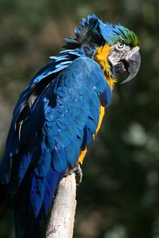 Free Blue Parrot Stock Photos - 1450273