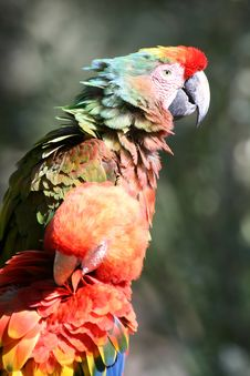 Free Couple Of Parrots Royalty Free Stock Photo - 1450375
