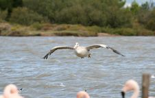 Free Pelican Flight Stock Photos - 1450883