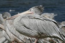 Grey Pelican Royalty Free Stock Images