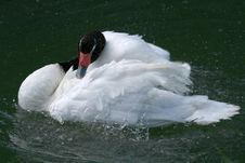 Swan Drying His Feathers Royalty Free Stock Photo