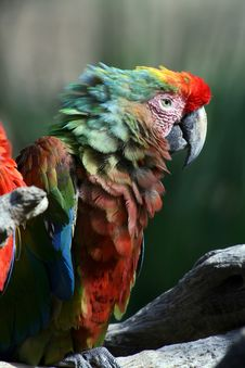 Free Old Parrot Royalty Free Stock Images - 1451269