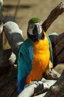 Free Facing Parrot Royalty Free Stock Photo - 1451305