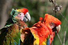 Free Parrots In Love Royalty Free Stock Image - 1451316