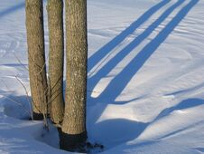 Free Three Trees And Shadows Royalty Free Stock Photos - 1451338