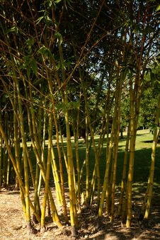 Free Cool Bamboo Royalty Free Stock Photography - 1451437