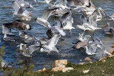 Free Seagull Fight Stock Images - 1451474