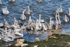 Free Group Of Pelican Eating Stock Image - 1451511