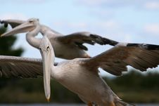 Free Pelican Gliding Royalty Free Stock Photos - 1451828