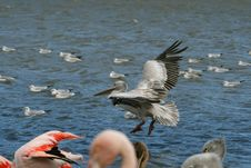 Free Pelican Landing Royalty Free Stock Photography - 1451907