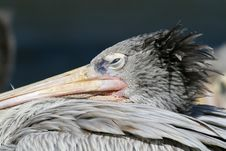 Free Pelican Eye Royalty Free Stock Photos - 1451928