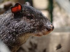 Free Agouti Royalty Free Stock Photo - 1452195