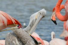 Free Pelican Among Flamingos Stock Image - 1452261