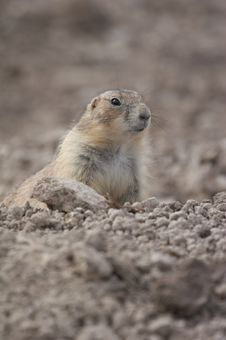 Free Prairie Dog Stock Photo - 1453000
