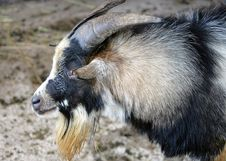 Free Goat 9 Stock Photo - 1453160