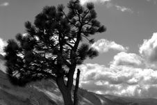 Black And White Image Of Lone Pine Against A Mountain Background Royalty Free Stock Images