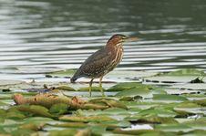 Free Green Heron Stock Image - 1455161
