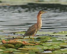Free Green Heron Royalty Free Stock Photo - 1455165