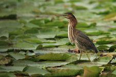 Free Green Heron Stock Photos - 1455213