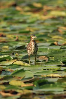 Free Green Heron Royalty Free Stock Image - 1455226