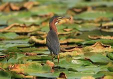 Free Green Heron Stock Images - 1455284