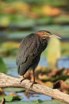 Free Green Heron Stock Photography - 1455322