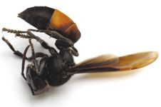 Free Dead Wasp Stock Photography - 1455702