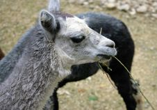 Alpaca 1 Royalty Free Stock Photography
