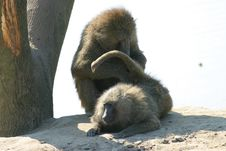 Free Baboon Caress Royalty Free Stock Images - 1455909