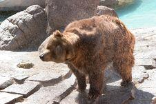 Free Bear Royalty Free Stock Photos - 1456368