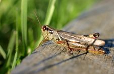 Free Grasshopper Royalty Free Stock Images - 1458199