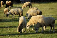 Free Sheep 2 Stock Images - 1458384