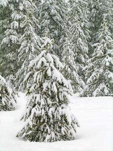 Free Winter Forrest Royalty Free Stock Images - 1459299