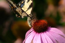 Free Beatiful Butterly Closeup Feeding Royalty Free Stock Photography - 1459477