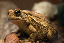 Free Big Toad Stock Images - 1459564