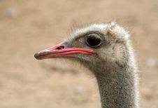 Free Ostrich Stock Images - 1459664