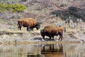 Free Two Yellowstone Bison Royalty Free Stock Images - 14506179